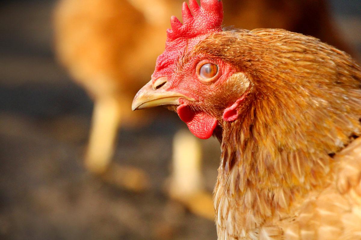 114. osa: Lakkuda elusat kana